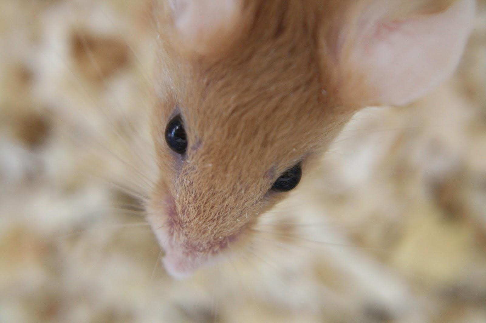 ¿Desde cuándo hay ratones en nuestros hogares?