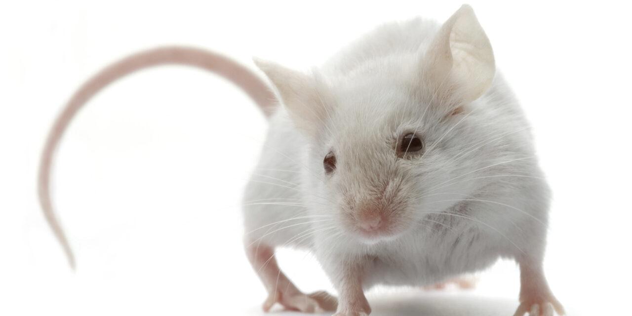 Devuelven la vista a ratones ciegos implantándoles fotorreceptores