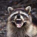 Dicen que los mapaches de Ohio se comportan como zombis agresivos