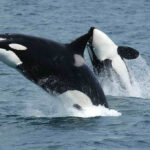 Documentan el primer caso de infanticidio entre orcas