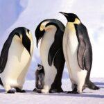 ¿Dónde estaban los pingüinos  en la última glaciación?