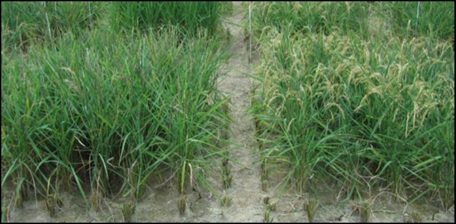 El arroz al que no le importa la sequía