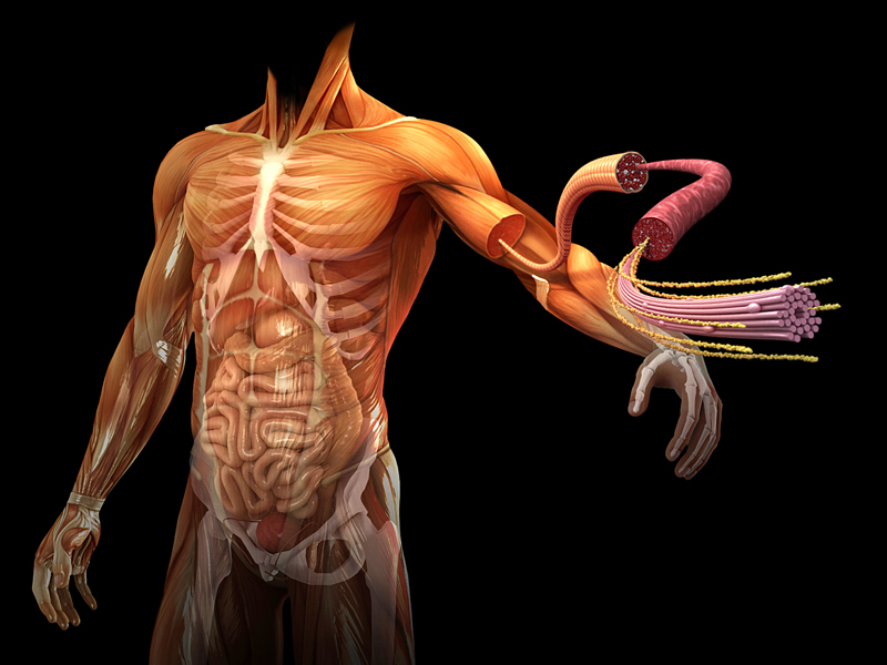 El cuerpo humano: Brazos