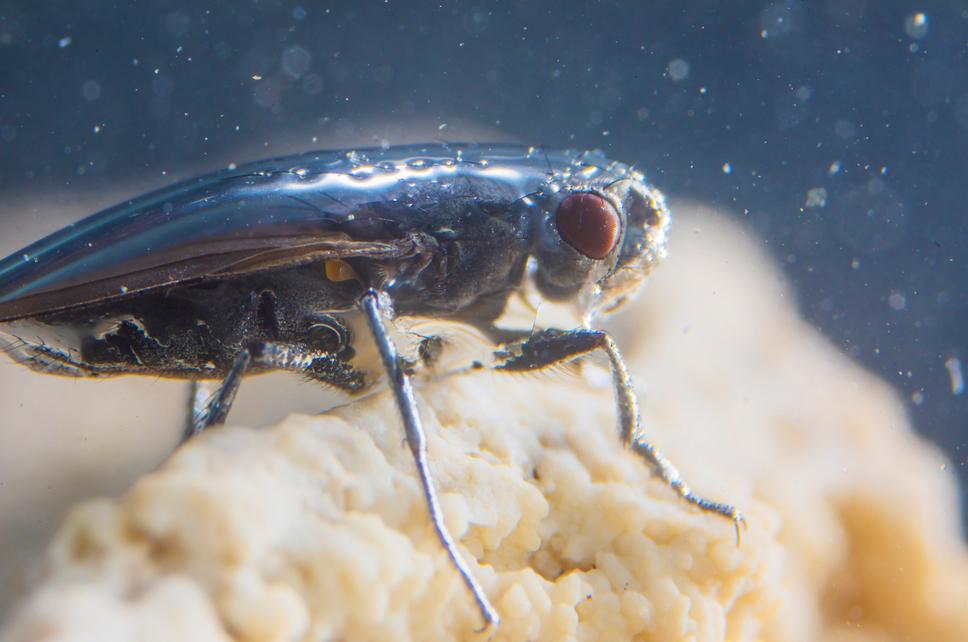 El enigma de la mosca que aprendió a bucear
