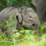 El  enigmático origen de los elefantes de Borneo