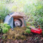 El erizo japonés Azuki se va de aventura al campo