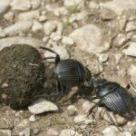 El escarabajo pelotero se orienta por La Vía Láctea