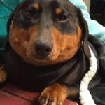 Un extraño trastorno hizo que este perro se inflase como un globo
