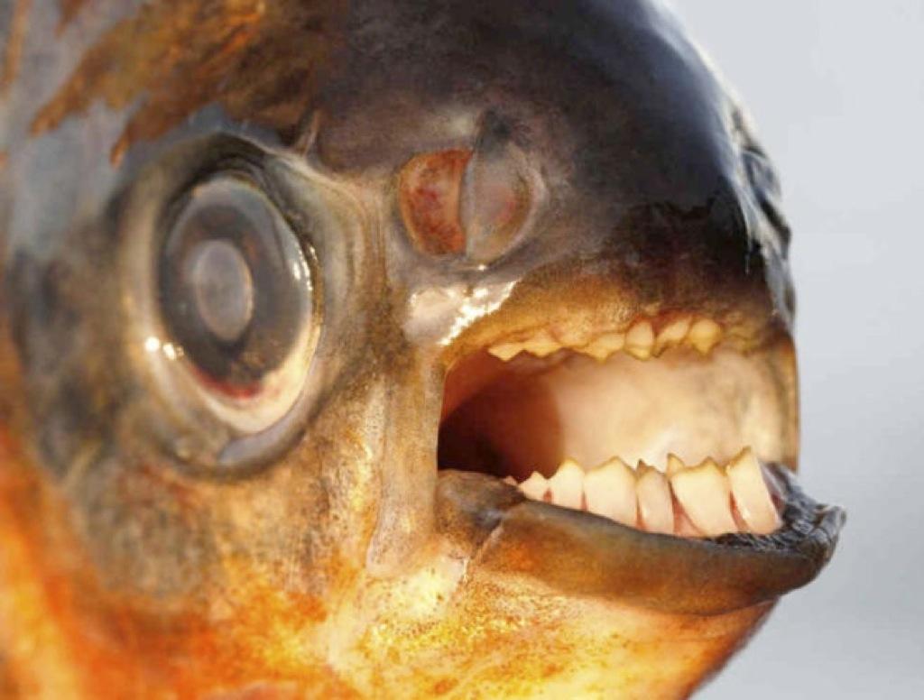 El feroz pez 'corta-bolas' llega a Europa