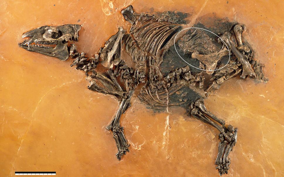 El fósil que escondía otro en su interior