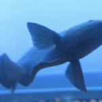 El gen responsable de la chispa de la anguila eléctrica