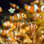 Descifran el genoma de Nemo
