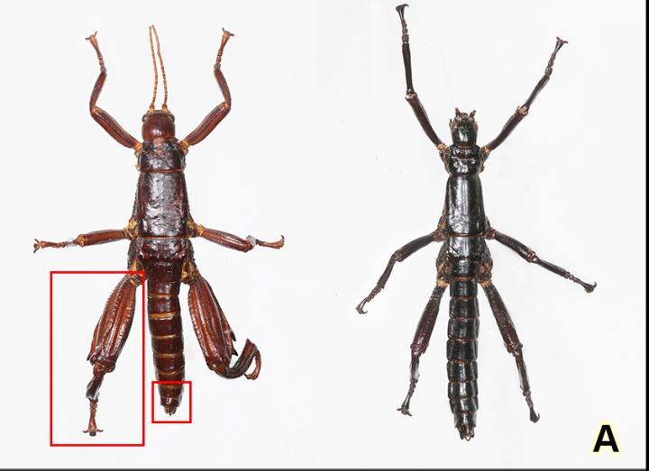 El insecto que se mudó de isla para sobrevivir