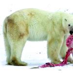 El oso polar, ¿caníbal?