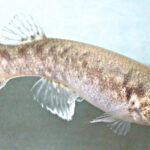 El pez que se fertiliza a sí mismo