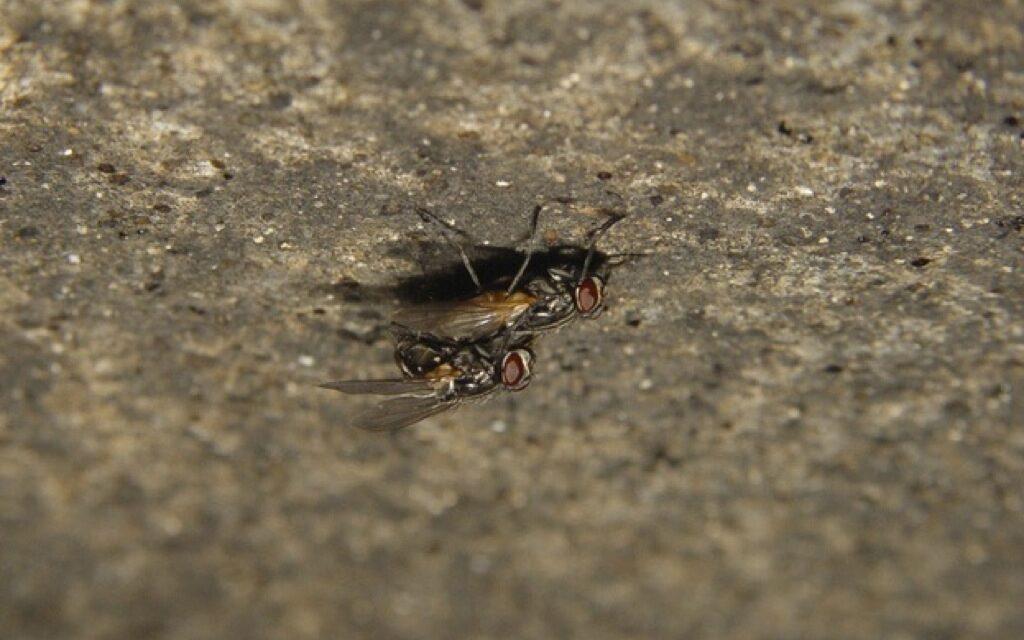 El sexo mata a las moscas