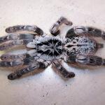 El veneno de esta araña podría servir para tratar un tipo de epilepsia infantil