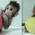 Ellos son Zhong Zhong y Hua Hua, los primeros monos clonados en China