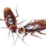 En China usan inteligencia artificial para criar 6.000 millones de cucarachas