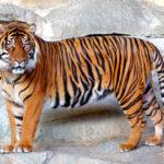 En el mundo hay más tigres usados como mascotas que en libertad