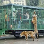 En este zoo de China, quien está enjaulado eres tú