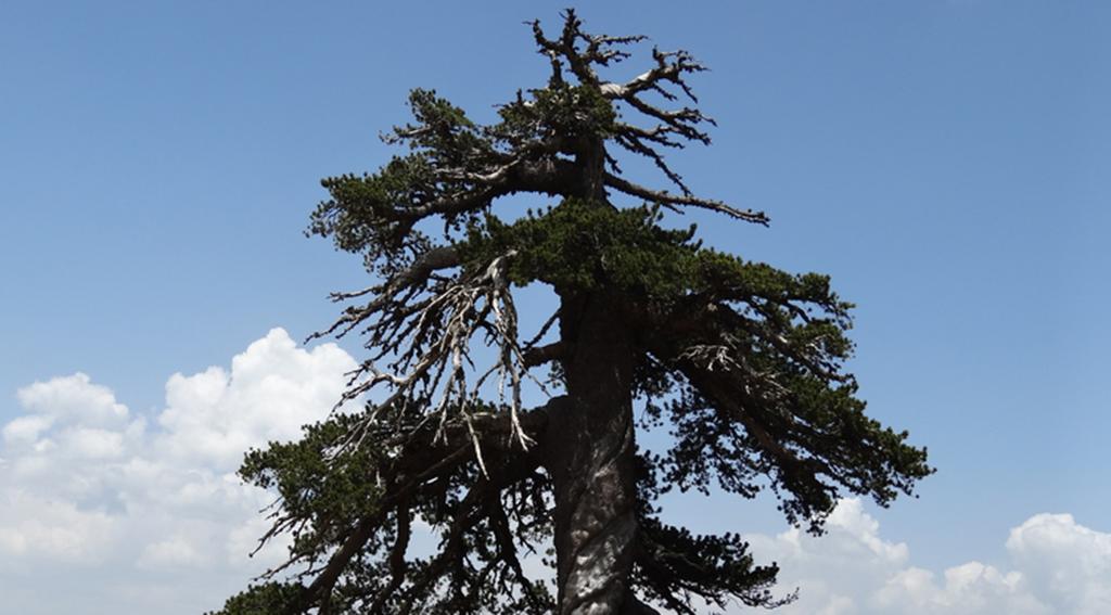Encuentran el árbol más viejo de Europa