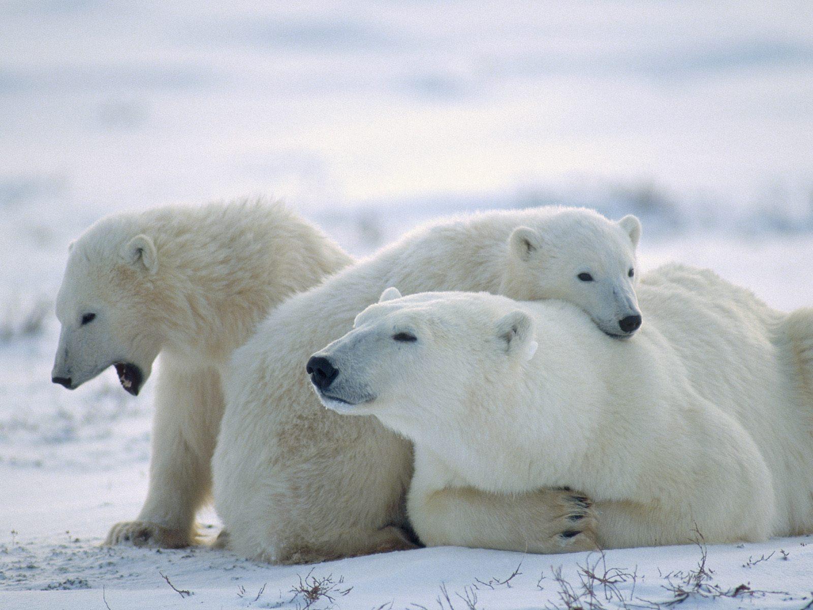 ¿Es cierto que el oso polar desciende del oso pardo?