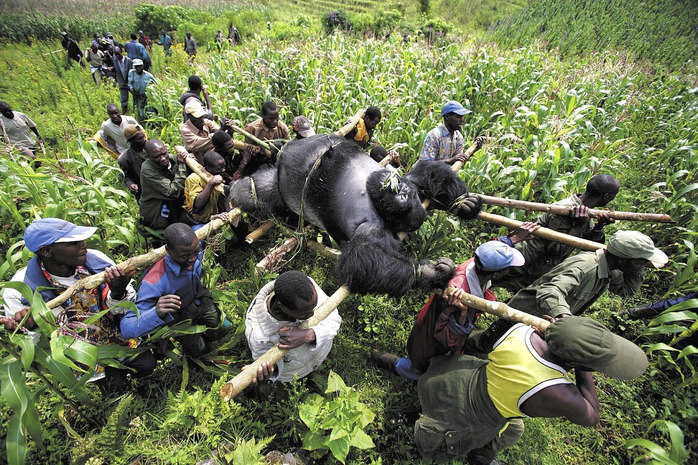 ¿Es cierto que en Congo matan a más guardias de los parques que gorilas?