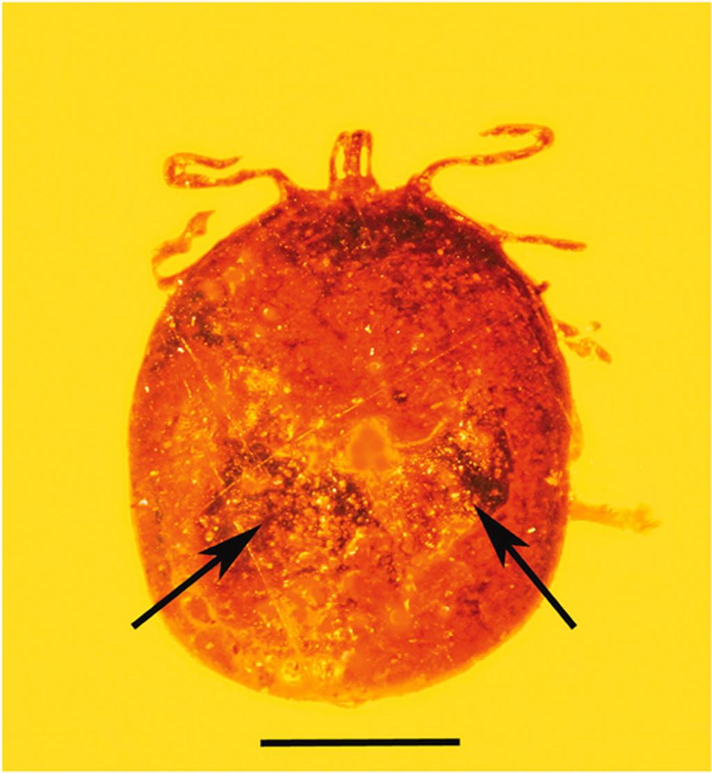 Esta pulga aún tenía la sangre que chupó hace 20 millones de años