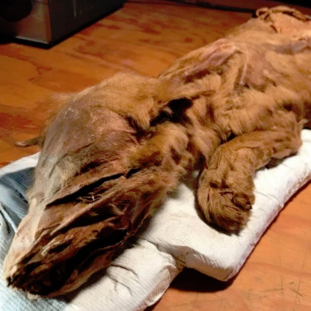 Este cachorro de lobo momificado es tan real, que vas a querer acariciarle