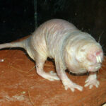 Este es el asqueroso truco que usa la reina de las ratas topo para conseguir que otras cuiden a sus crías