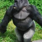 Este gorila camina casi como los humanos