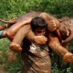Este héroe ha salvado a un bebé elefante… llevándolo a hombros