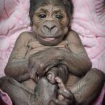 Este pequeño bebé gorila lucha por su vida tras ser abandonado