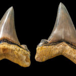 Estos dientes pertenecieron al «abuelo» del megalodón