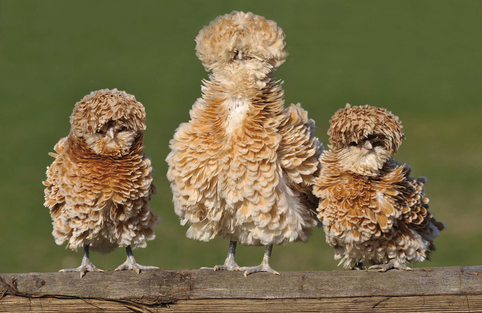 ¿Existen gallinas de pluma rizada?