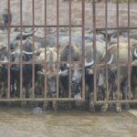 Fiestas taurinas en China