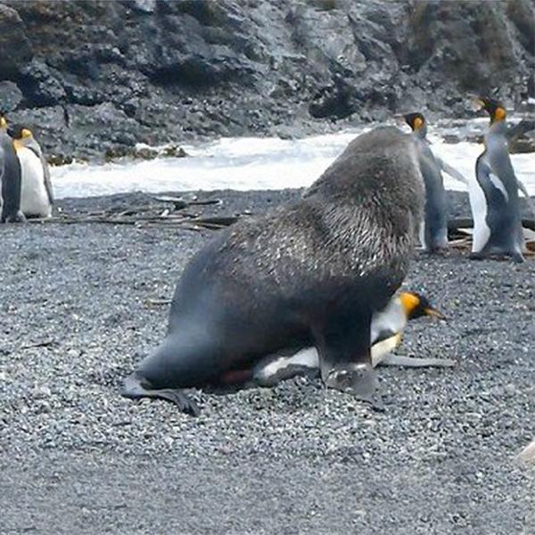 Focas violadoras de pingüinos