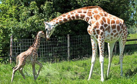 Las manchas de las jirafas tienen un propósito