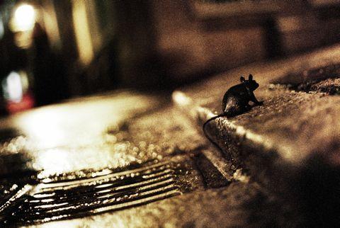 Gracias al cambio climático las ratas heredarán el mundo
