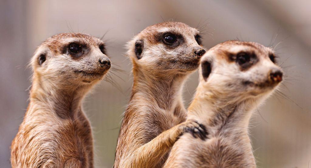 Los suricatos solo se fían de los veteranos