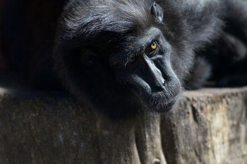 Un babuino sobrevive seis meses con el corazón trasplantado de un cerdo