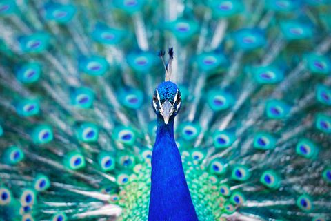 La mayoría de las aves no pueden ser bellas y cantar bien al mismo tiempo
