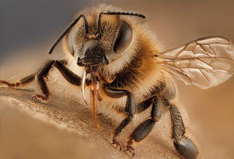 Descubren la primera abeja que parece no tener madre