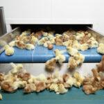 Así transportan a los pollitos hacia el lugar del sacrificio