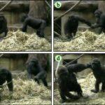 Gorilas al corre que te pillo