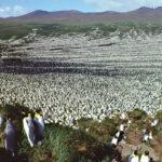 Ha desaparecido casi el 90% de una de las mayores colonias de pingüinos del mundo. Y nadie sabe por qué