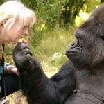 Ha muerto Koko, la gorila parlanchina que usaba el lenguaje de signos