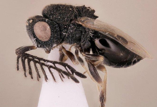 Han descubierto una nueva especie, la avispa Freddy Krueger
