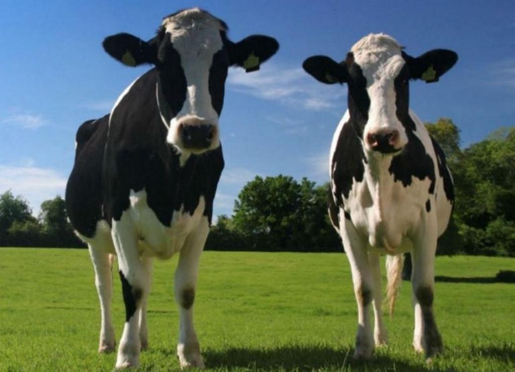 Hay vacas optimistas y vacas pesimistas